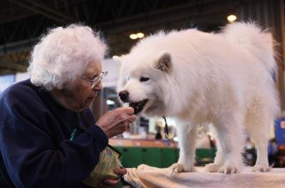 What Are the Characteristics of a Samoyed?
