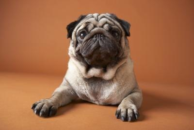 How to Feed a Pug Puppy After Weaning