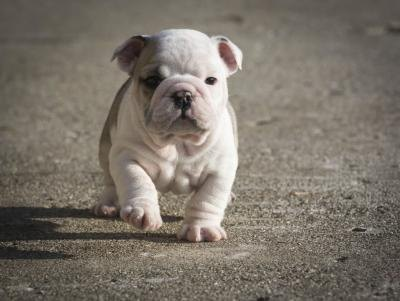 English bulldog puppy running outside