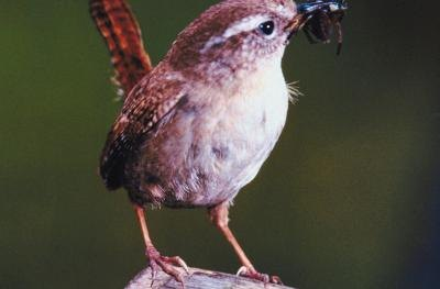 How to Keep Baby Wren Birds Alive