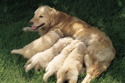 What to Feed Golden Retriever Puppies