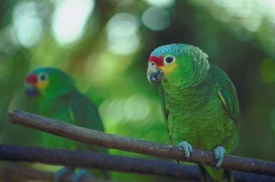 Owning an Amazon Parrot as a Pet