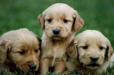 How to Find a Puppy Breed