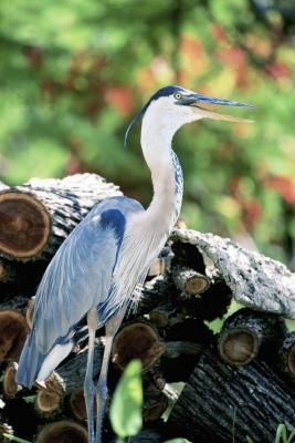 Great Blue Heron Birds and Their Inherited Traits