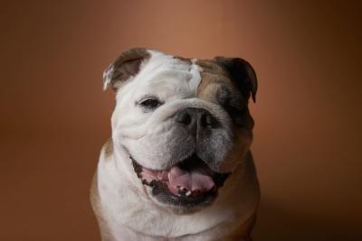 English Bulldog Diet