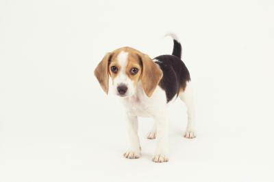 How Much Do I Feed My Beagle Puppy?