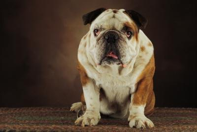 How Much Do You Feed a Bulldog?