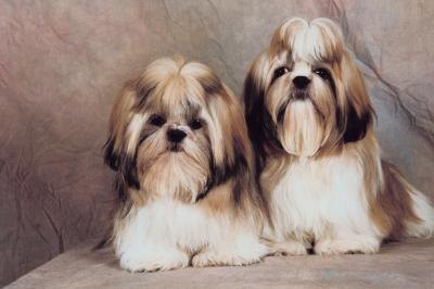 How to Wean Your Shih Tzu Puppy