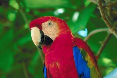 Scarlet Macaw Behavior