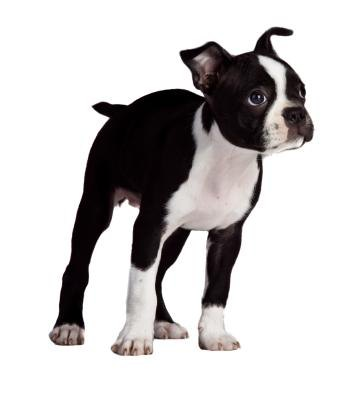 Information About Dogs Do Boston Terriers Tails Curl