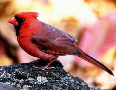 Characteristics of a Cardinal
