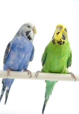 Why Don't My Parakeets Get in Their Nesting Box?