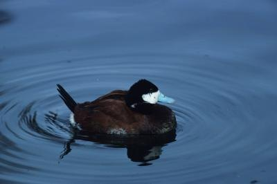 Migration of the Ruddy Duck