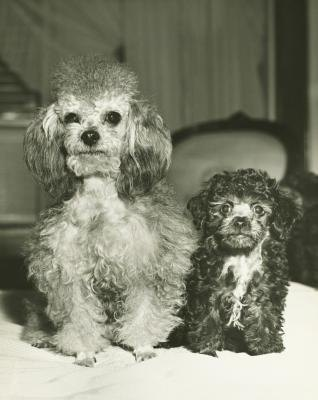 How Many Kinds of Poodles Are There?