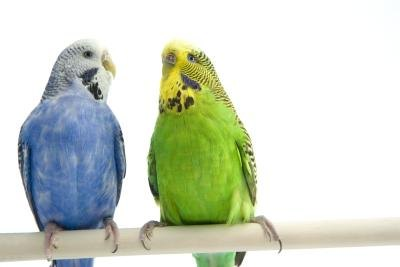Which Makes a Better Pet: Parakeet or Cockatiel?