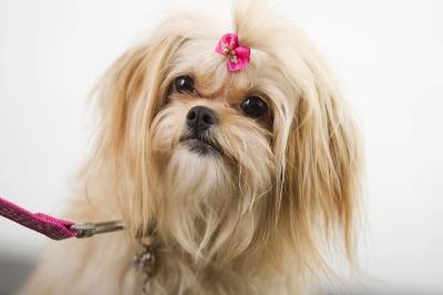 Small Dog Breed With Natural Mane