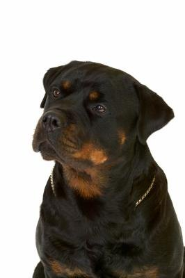 How Do I Get My Rottweiler to Eat More?