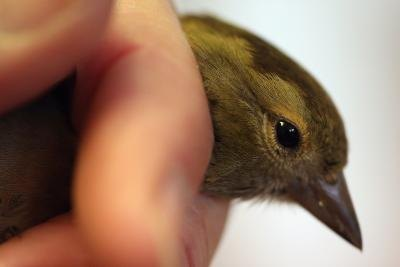 How to Breed Green Singer Finches