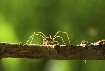 How Do Daddy Long Legs Eat Their Food