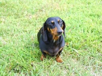Homemade Dog Food For Overweight Dachshund