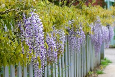 The Best Plant Vines To Grow On Fences With Pictures Ehow