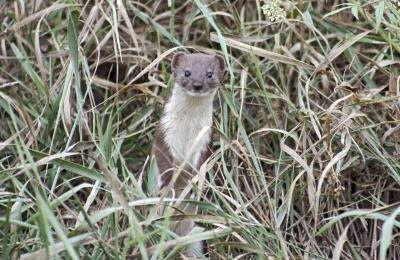 Differences Between Minks Amp Weasels With Pictures Ehow