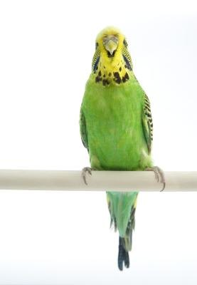 Adaptations of Budgerigars