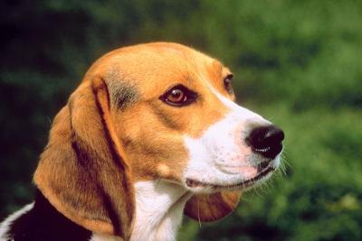 How to Train Beagles as Search and Rescue Dogs