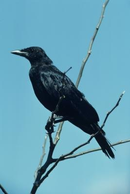 What to Feed a Black Crow