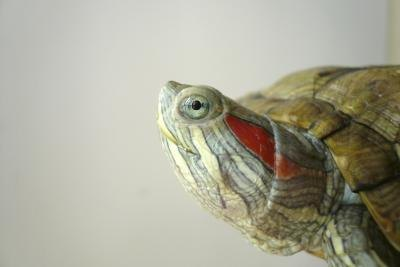 Pet Turtle Water Temperature : Turtles are popular pets.(lnzyx/iStock/Getty Images)