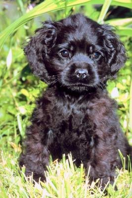 How Much Food Should a Cocker Spaniel Puppy Be Fed?