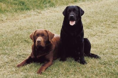 About Labrador Dogs & Their Behavior