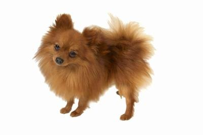How to Care for a Pomeranian