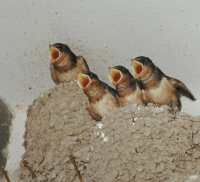 Types of Birds: How to Stop Barn Swallows From Building ...