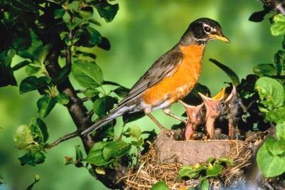 How to Care for Baby Robin Redbreasts
