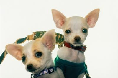 About Toy Chihuahuas