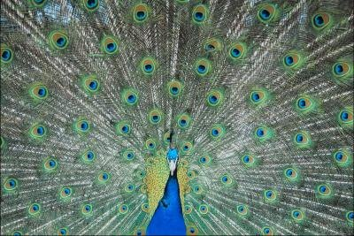 How to Breed Peacocks
