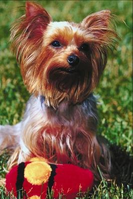 Dogs Health: Yorkie Eating Habits