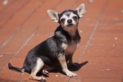 short hair dog breeds list Car Tuning
