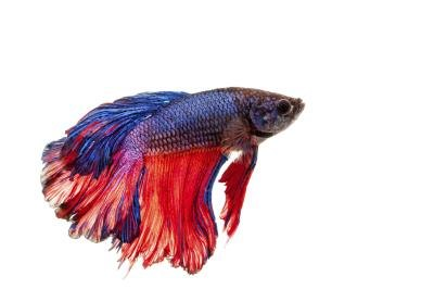 What kind of fish can live in a bowl ehow for List of fish that can live with bettas