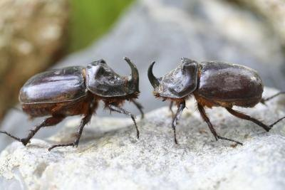 Rhinoceros Beetle Life CycleRhinoceros Beetle Life Cycle