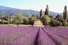 Lavender is closely associated with a French country feel.