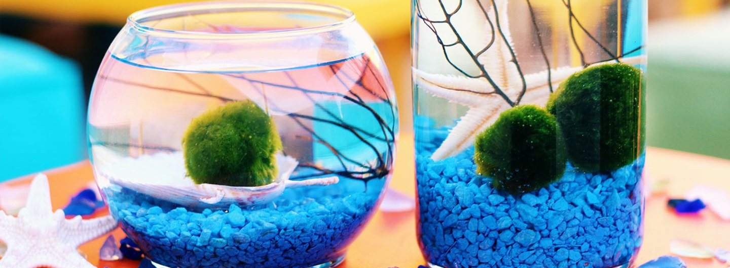DIY Marimo Moss Ball Aquarium