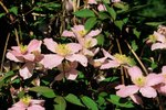 How Fast Do Clematis Grow?