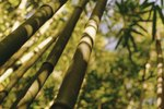 Bugs That Live in Bamboo