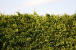 Evergreen Plants for Blocking Views