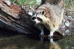 Will a Raccoon Dig in Potted Plants?