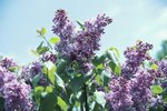 How to Grow Lilac Bushes in Zone 9