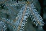 Types of Blue Spruce Shrubs