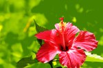 Does Rose of Sharon Grow in the Shade?